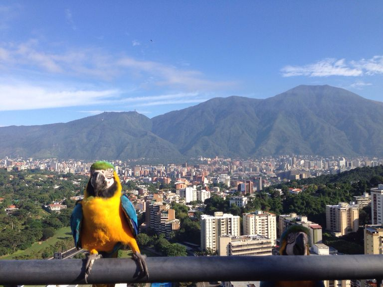 Yellow And Blue Macaw Perched On Railing Against Cityscape And Mountains