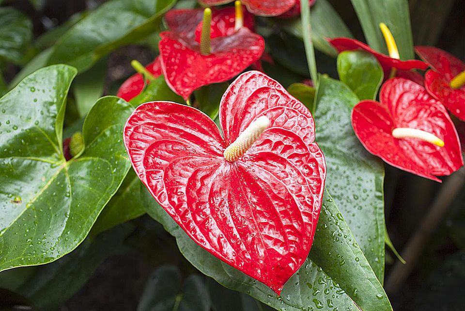 Flamingo Flower, Red Anthurium tropical plant, of arum Araceae group of plants with water droplets. Also known as Boy Flower