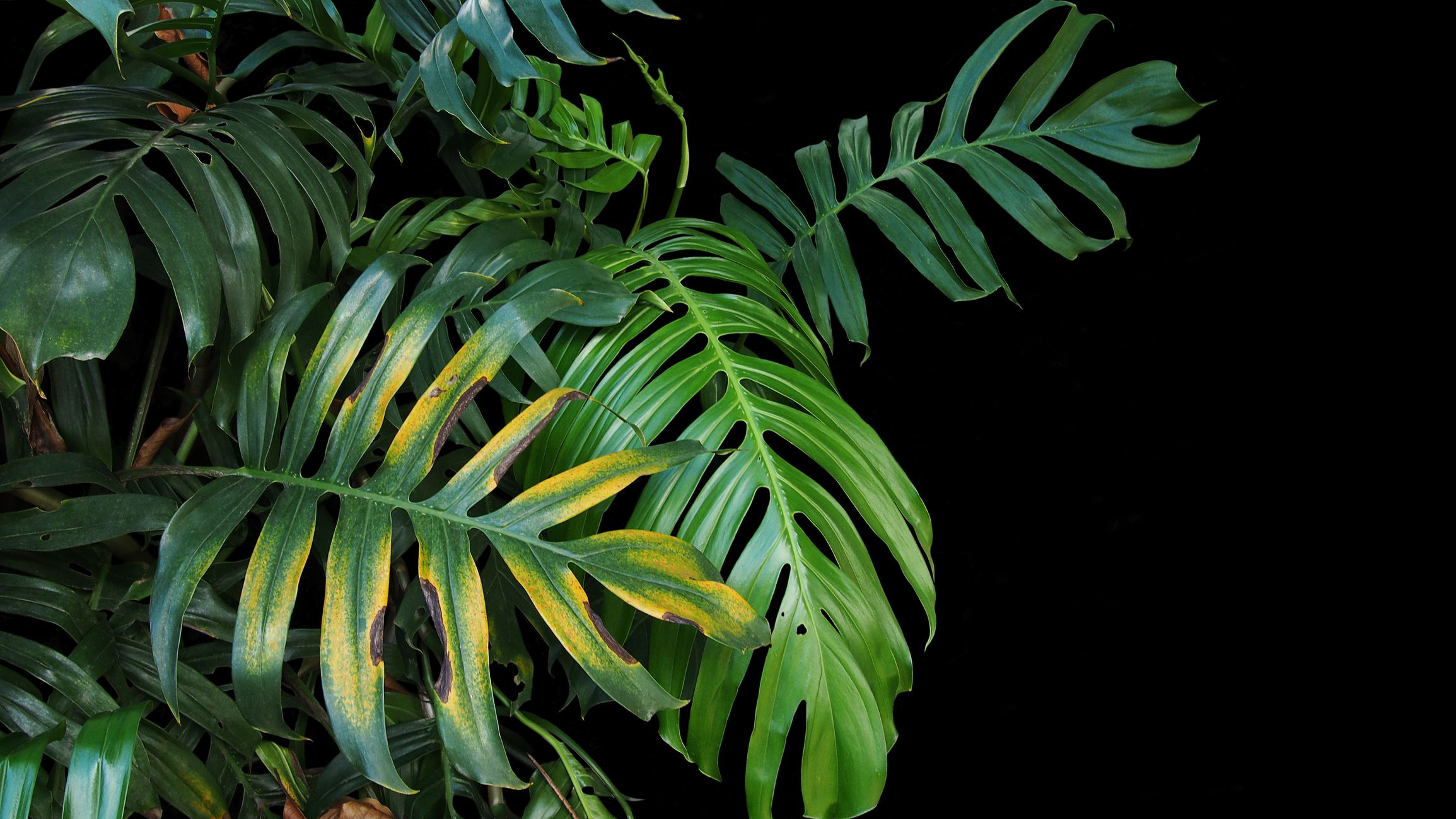 6 Common Causes For Yellow Leaves On Houseplants