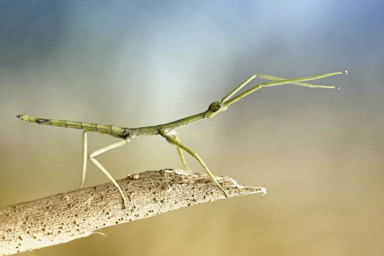 Stick insect.