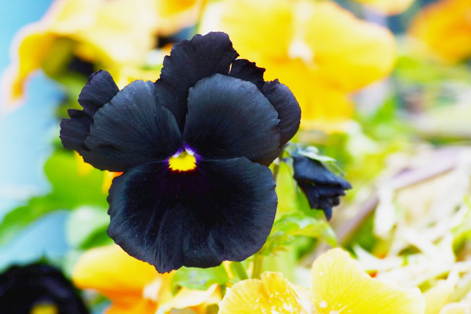 9 black flowers to add drama to your garden black beauty pansy mightylinksfo