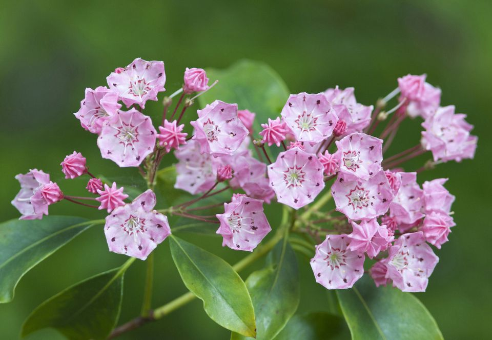 Closeup of pink flowers of Kalmia latifolia 'Clementine Churchill'.