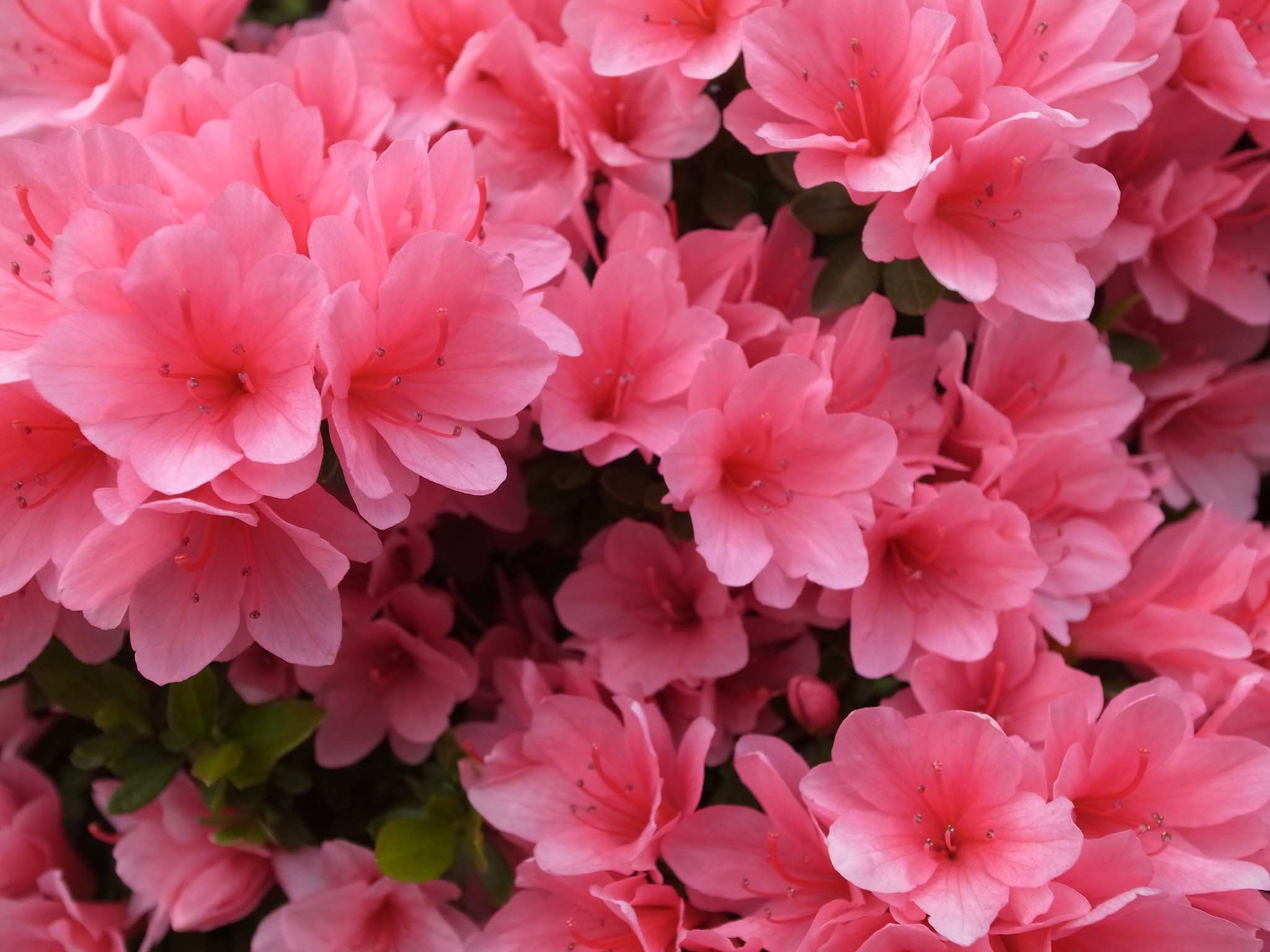 15 great flowering shrubs for your landscape mightylinksfo