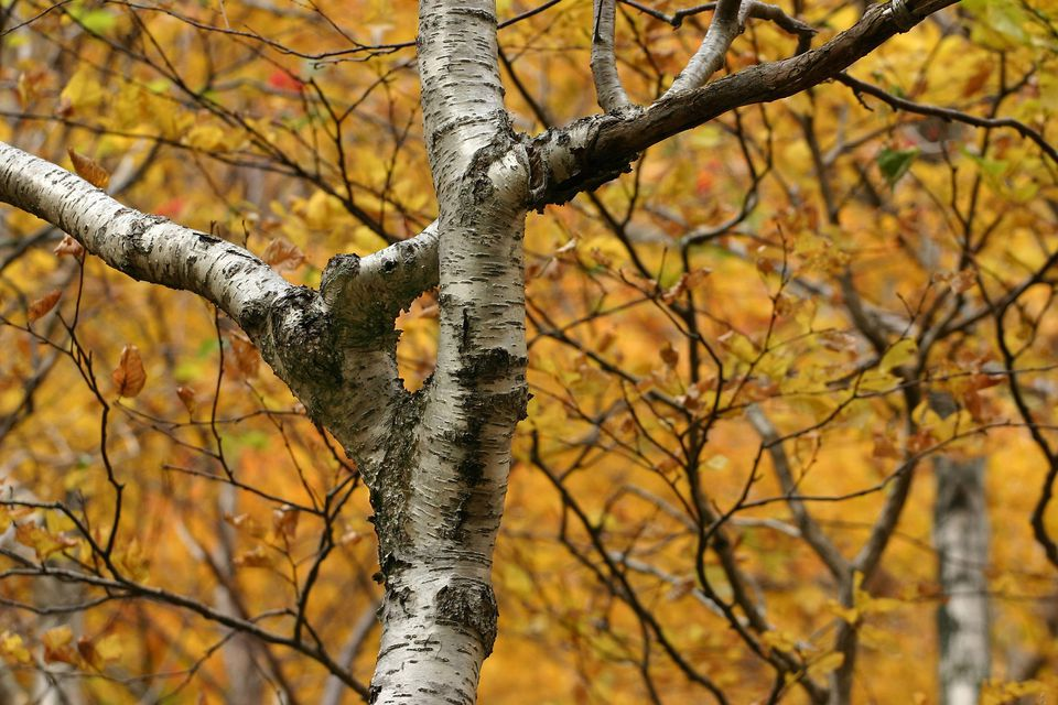 Paper Birch Tree surrounded by fall colors