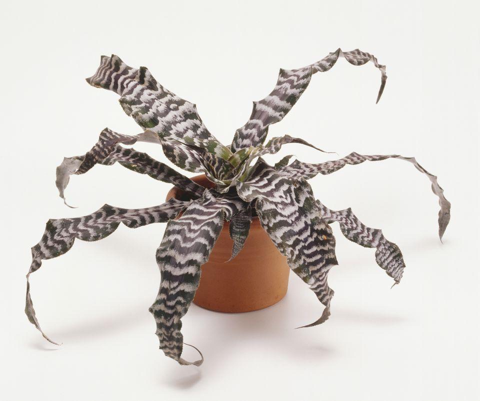 Cryptanthus bromeliads