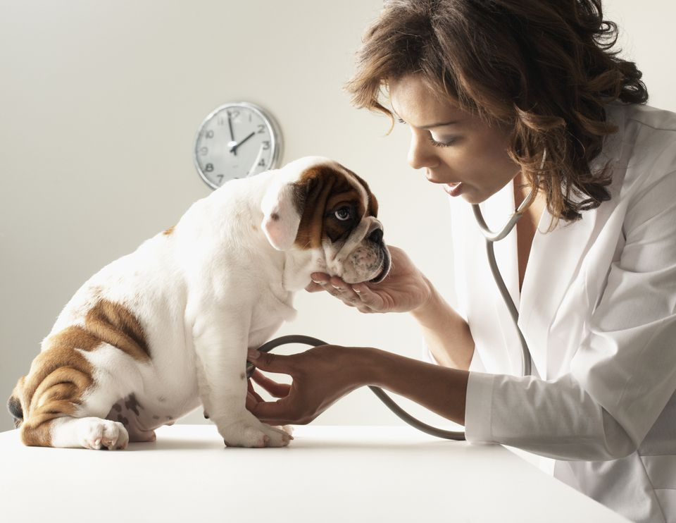 Veterinarian listening to puppy's heartbeat