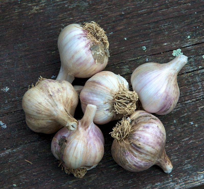 picture of growing garlic