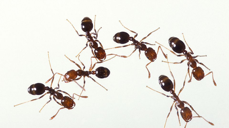 get rid of ants in the bathroom with How To Identify Ants 2656743 on Carpet Dry Cleaning Vs Steam Cleaning together with 490783 Small Gnats additionally Ridabugs additionally How to get rid of spiders in my room besides How To Get Rid Of Ants In The House.