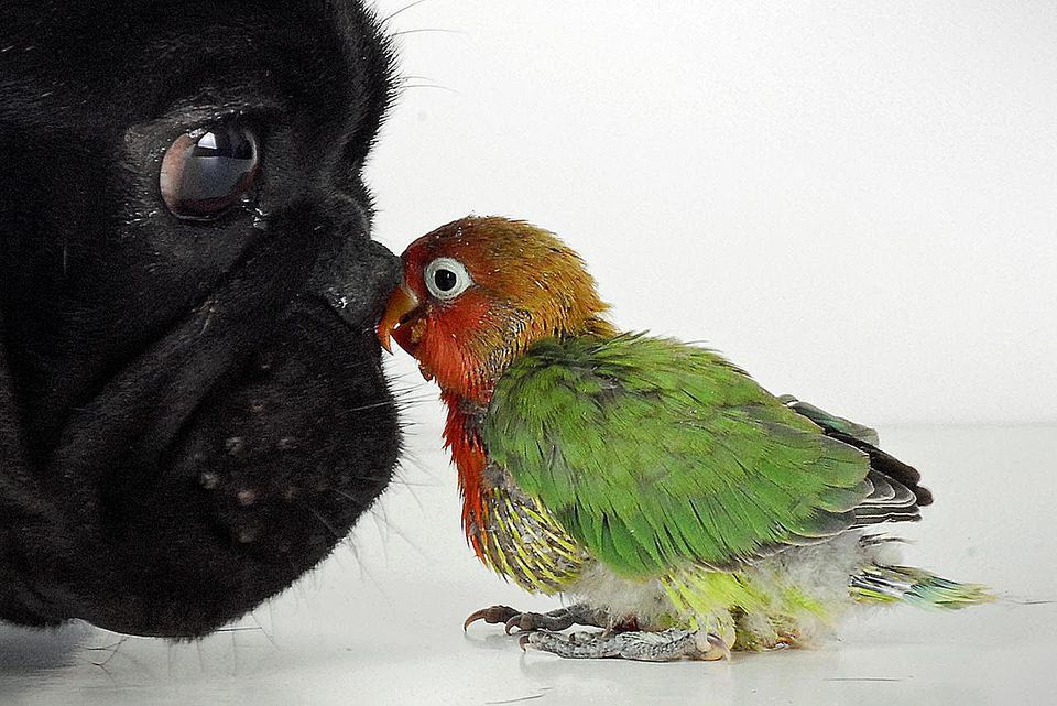 French bulldog and lovebird against white background.