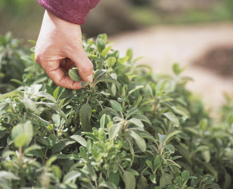 Salvia officinalis, new growth on Sage plant being hand-pinched,
