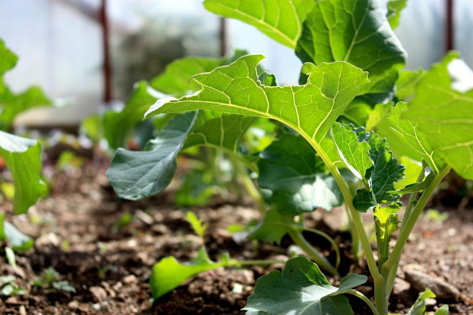 What Are Some Companion Plants For Broccoli In The