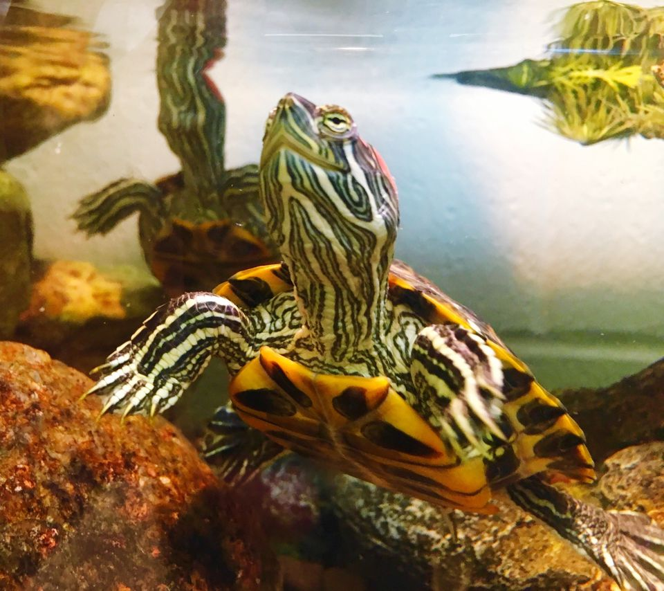 Red eared slider in a tank