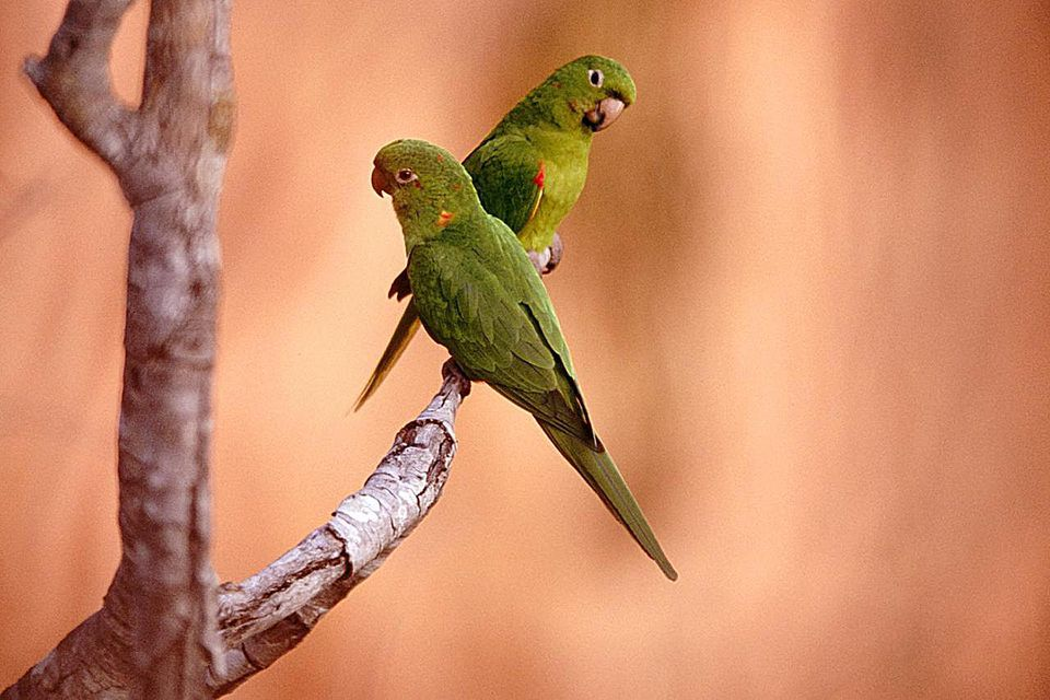White eyed parakeet (Aratinga leucophthalmus) couple perching on a branch in front of sandstone rocks. Chapada dos Guimarães near Cuiabá. Mato Grosso. Brazil.