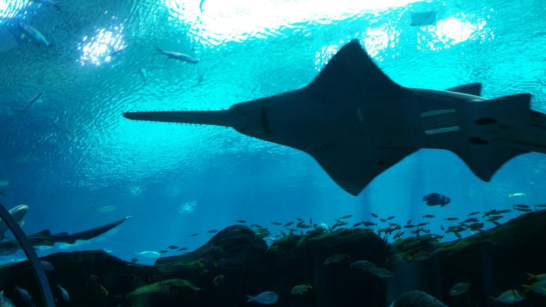 Low Angle View Of Sawfish Swimming In Aquarium