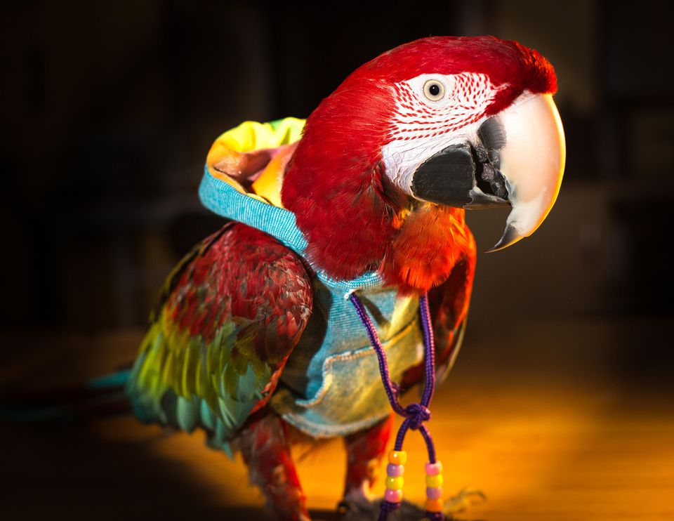 Macaw in a hoodie