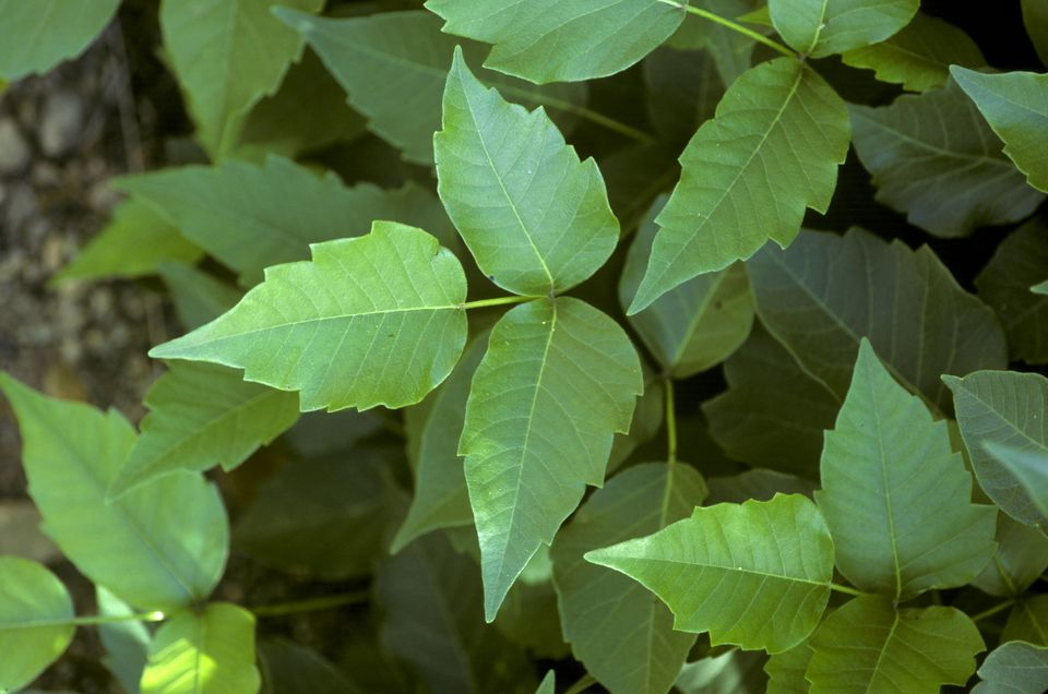 POISON IVY. RHUS RADICANS VOLATILE OILS CAUSE SEVERE SKIN INFLAMMATION, ITCHING, BLISTERING