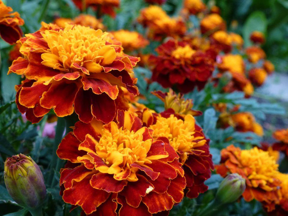 Tagetes patula (marigold)