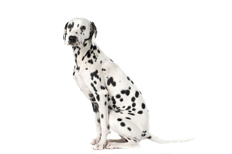 a dalmatian dog sitting, against a white background.