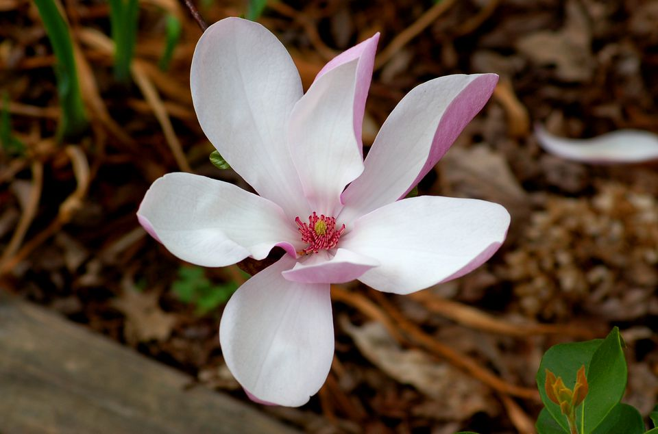 Jane magnolia (image) is relatively small. It is considered a tree or shrub.