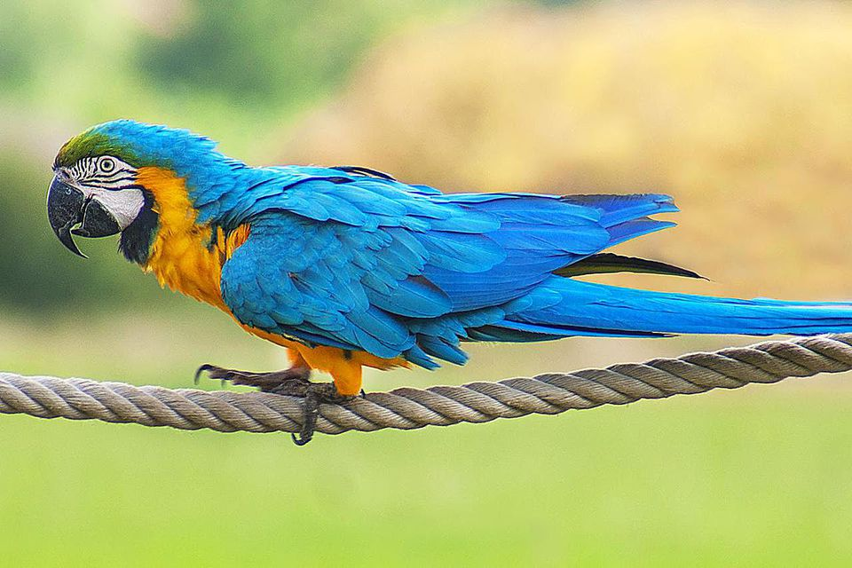 A Blue-and-yellow Macaw pet parrot walking along a piece of rope.