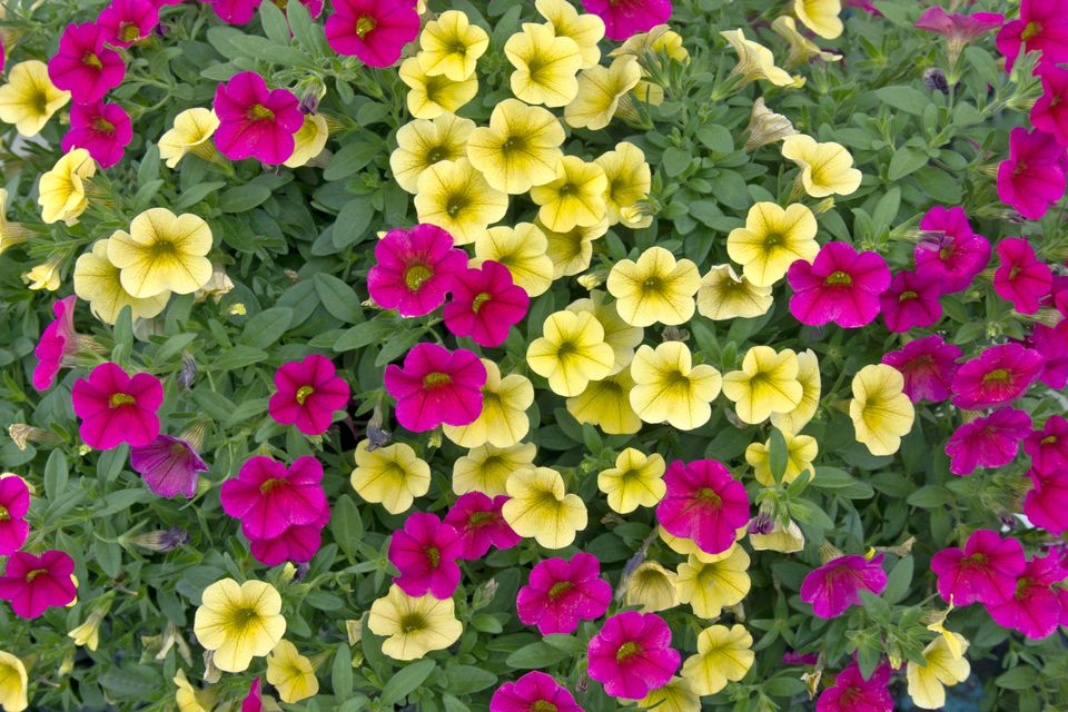 Yellow and Pink Calibrachoa Million Bells Flowers