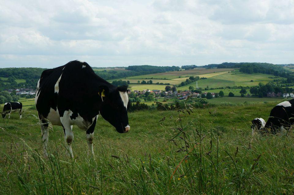 Cow Pasture in Limburg, Netherlands