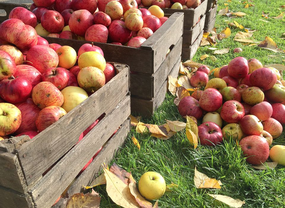 Crates of fresh apples in an orchard.