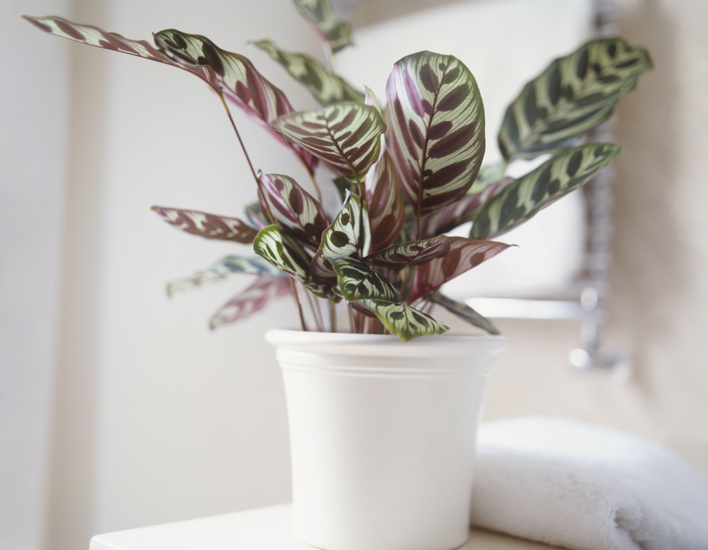 How To Grow Calathea