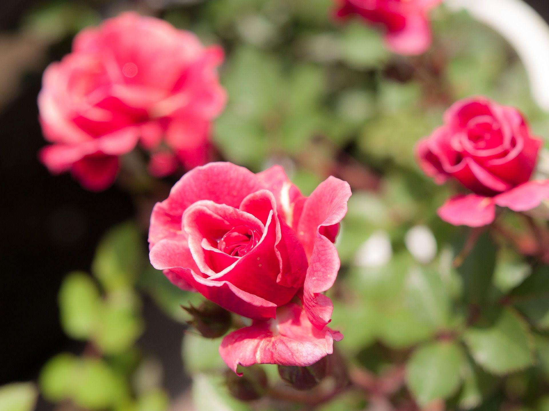 Kordana Miniature Rose Care And Growing Instructions