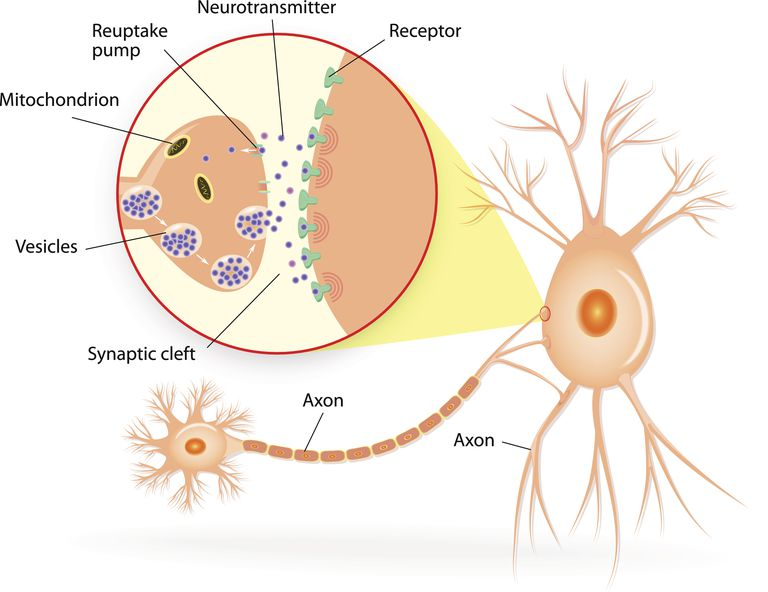 neurotransmitters and the synaptic cleft showing vesciles and receptors