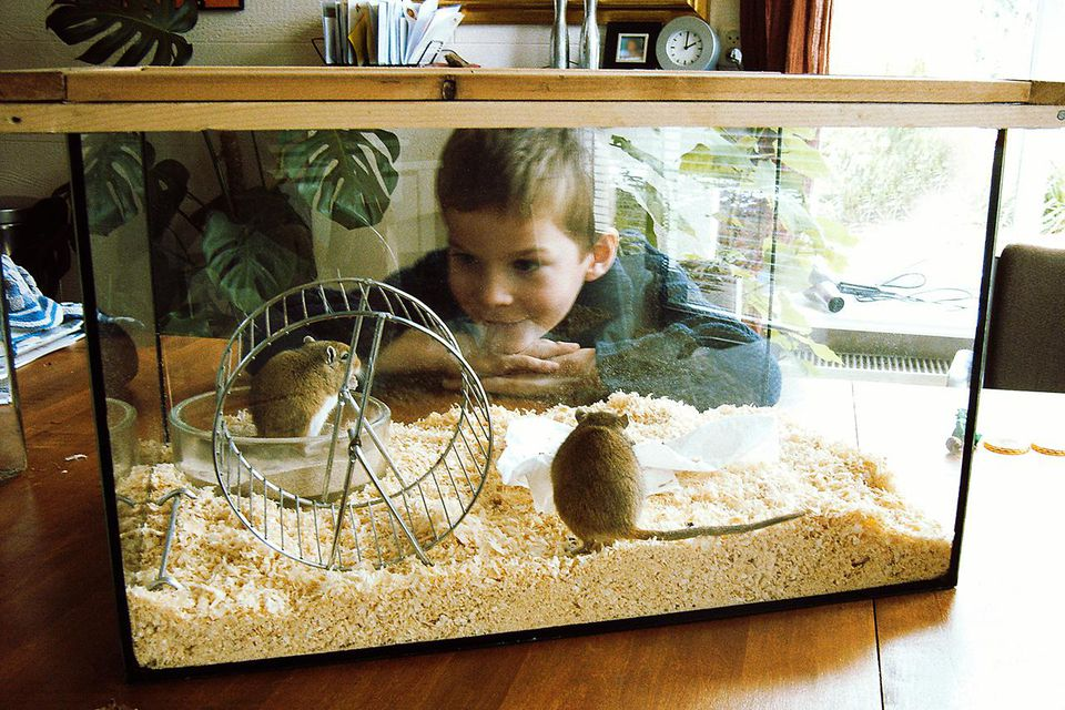 Young boy looking at his gerbil pets, standing on the kitchentable in a glass container
