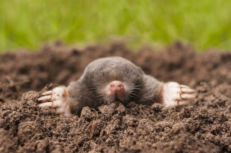 Here's a quick quiz that introduces you to the mole in chemistry and why it's important.