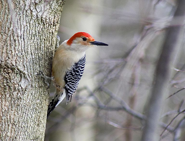 Red-bellied Woodpeckers are increasingly found at backyard feeders in northeastern North America.
