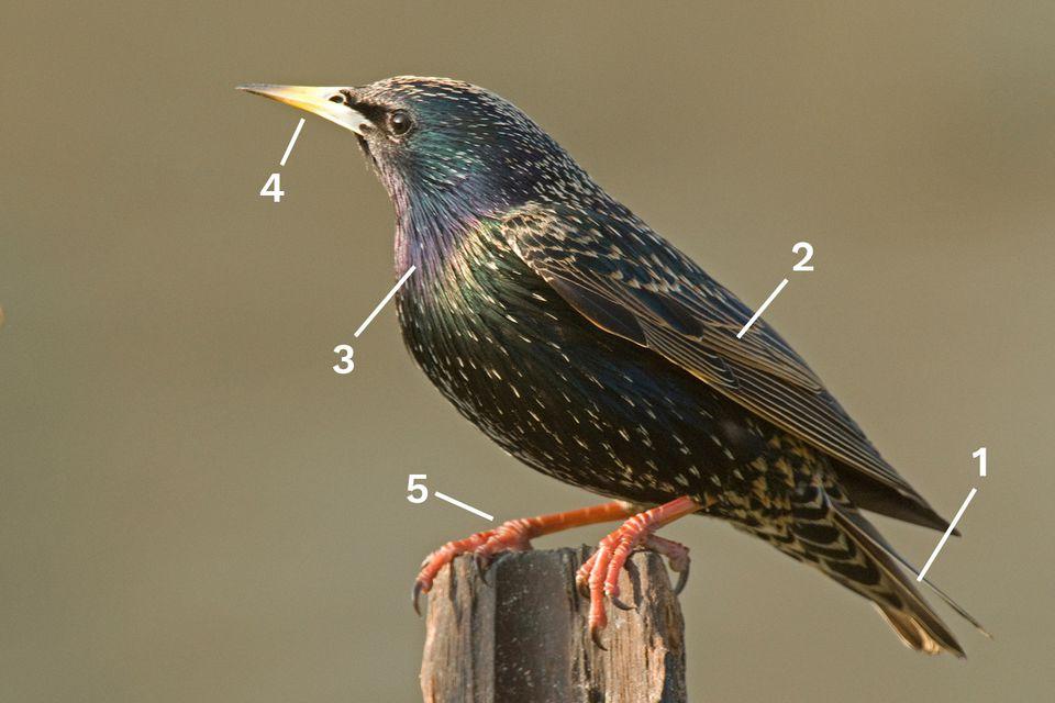 Identify a Breeding European Starling