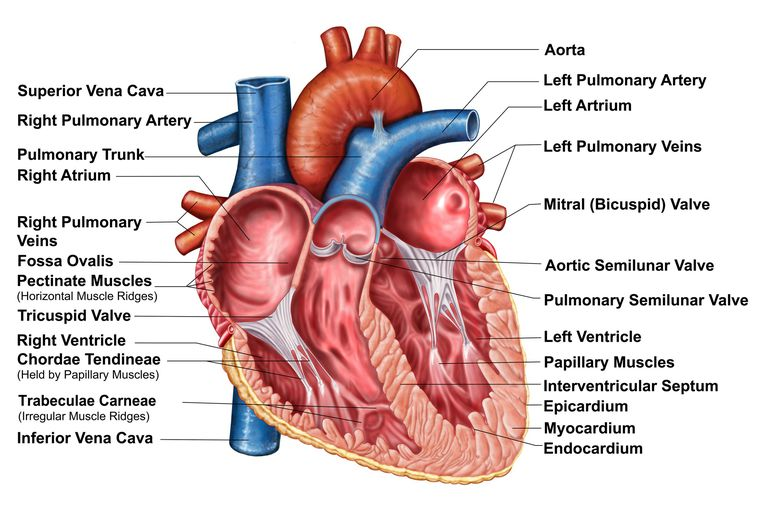 Anatomy of heart interior, frontal section.