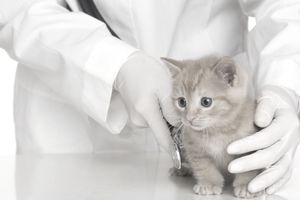 veterinarian with kitten