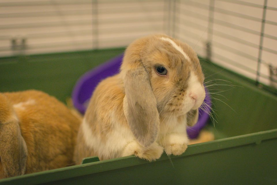 Why Your Pet Rabbit Is Limping