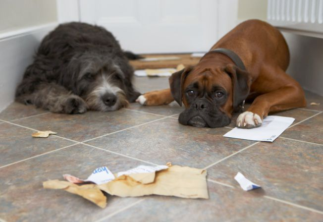 dogs after they ripped up the mail - dogs misbehaving