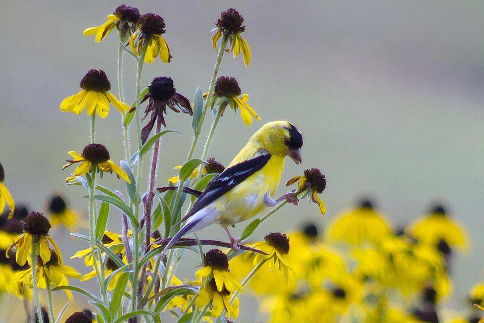 American Goldfinch on Flower