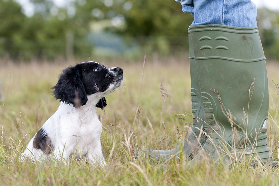 young spaniel puppy beginning its training