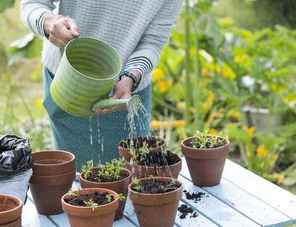 woman-watering-plants-in-pots-707445427-5a7fa75d1f4e1300376e8483 Chamomile Houseplant on