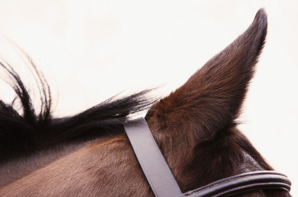 horseear.jpg