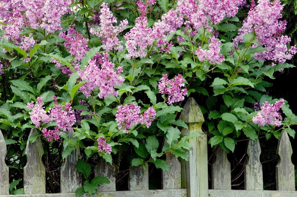 Lilacs growing over fence