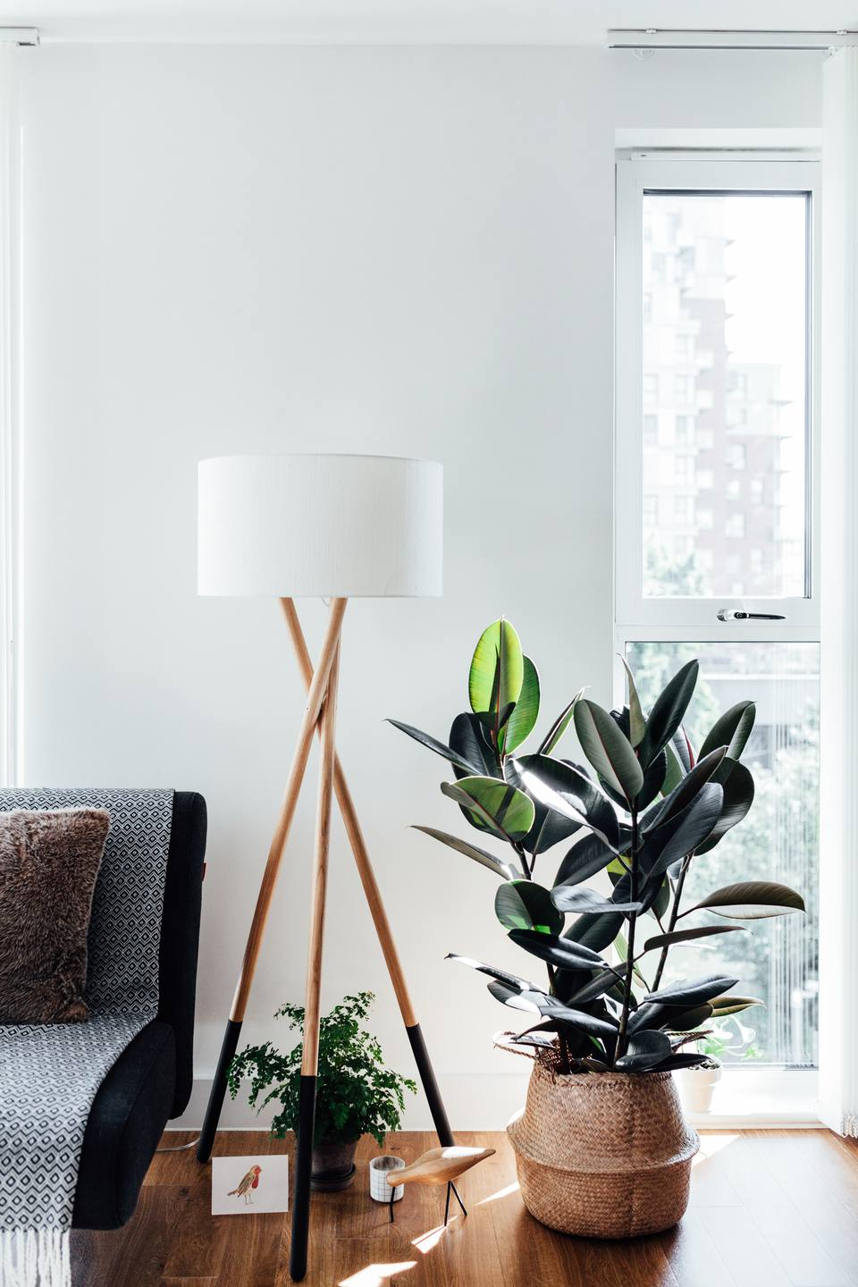 Growing Rubber Plant Ficus Elastic Indoors