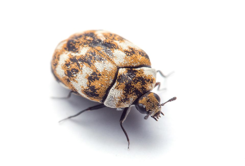 Carpet Beetle. Identify 8 Insects That Eat Holes in Clothes