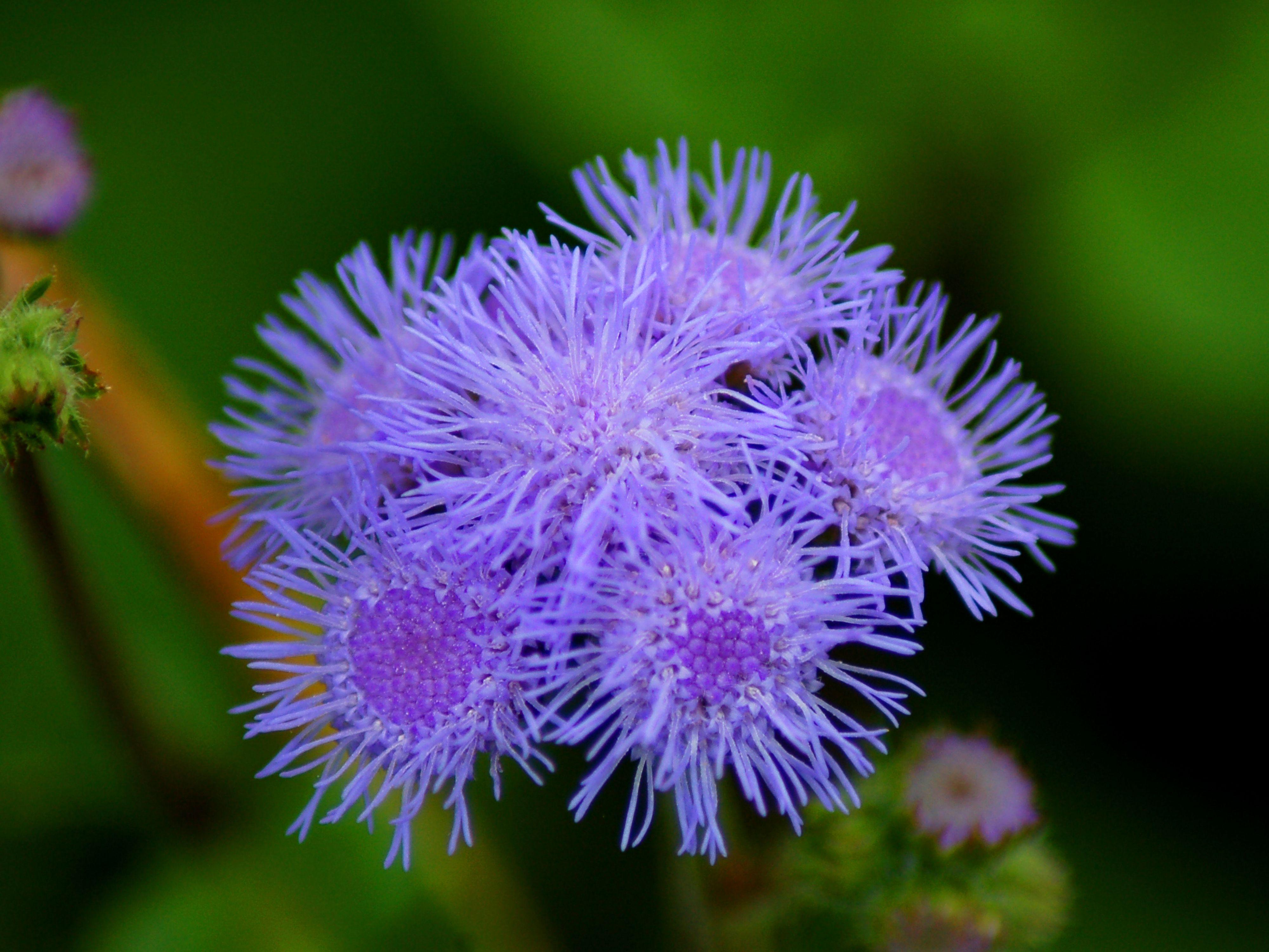 blue ageratum true blue annual flower