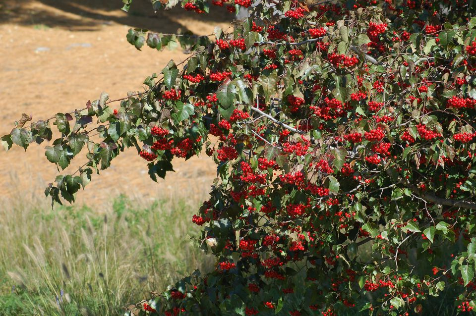 Picture of Washington hawthorn tree with berries? Photo shows specimen massively fruiting.