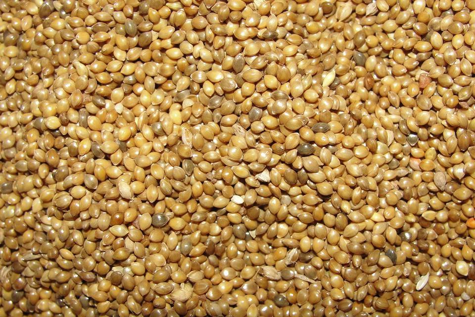 All About White Proso Millet Birdseed