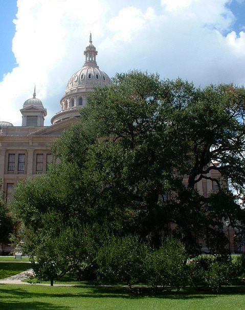 Live Oak at Texas State Capitol