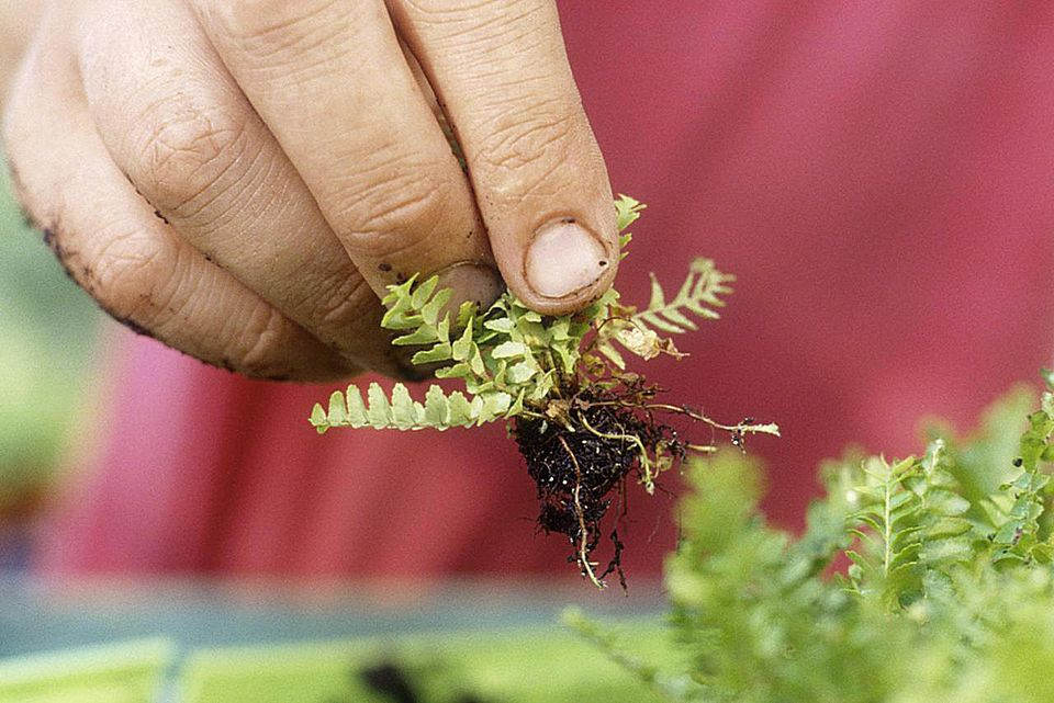 A person pricking out clumps of young propagated Nephrolepis exaltata (Boston fern)